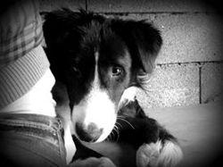Boule, chien Border Terrier