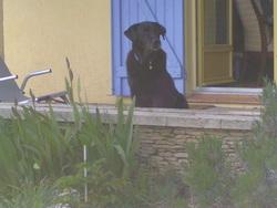 Boule, chien Labrador Retriever