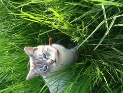Boule De Neige , chat Siamois