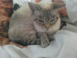 Boule De Neige, chat Oriental