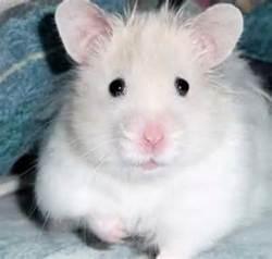 Boule De Neige, rongeur Hamster