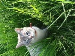 Boule De Neige , chat Gouttière