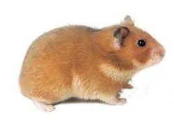 Bouleboule, rongeur Hamster