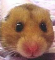 Boulette, rongeur Hamster