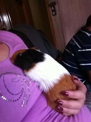 Boulette, rongeur Cochon d'Inde