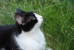 Boulette, chat Européen