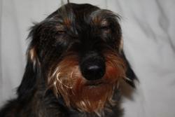 Boulette, chien Teckel