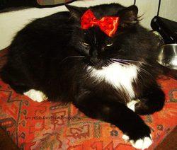 Boulette, chat Norvégien