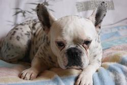 Boulette, chien Bouledogue français