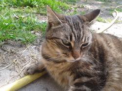 Boulette, chat Gouttière