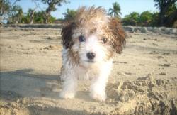 Boulette, chien Coton de Tuléar