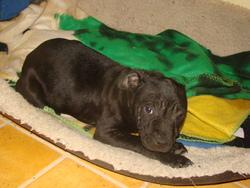 Boulette, chien Staffordshire Bull Terrier