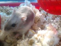 Bouli, rongeur Hamster