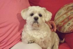 Bouli, chien Lhassa Apso