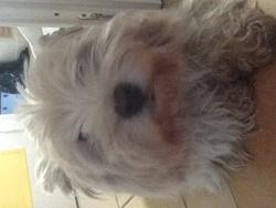 Bouli, chien West Highland White Terrier