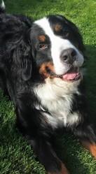 Bouli, chien Bouvier bernois