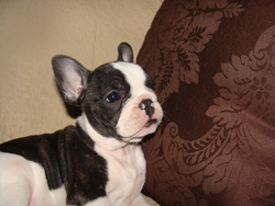 Bouliboulette, chien Bouledogue français