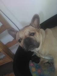 Boulie, chien Bouledogue français