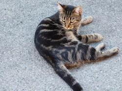 Boulie Dite Boulinette, chat Gouttière