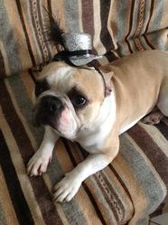 Bouly, chien Bouledogue français