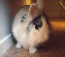 Bountie, rongeur Lapin