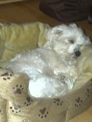 Bounty, chien Bichon maltais