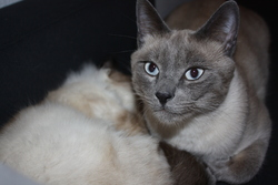 Bounty, chat Siamois