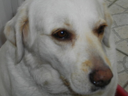 Bounty, chien Labrador Retriever