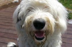 Bounty, chien Bobtail