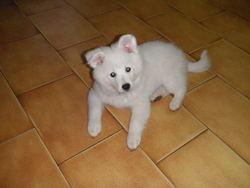 Bounty, chien Spitz allemand