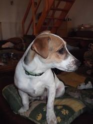 Bounty, chien Jack Russell Terrier