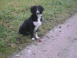 Bounty, chien Border Collie