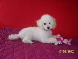 Bounty, chien Caniche