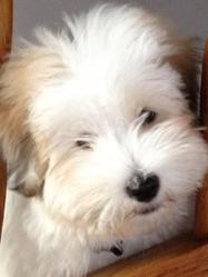 Bounty, chien Coton de Tuléar