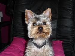 Bounty, chien Yorkshire Terrier
