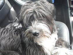 Bounty Dite La Toute Supreme, chien Terrier tibétain