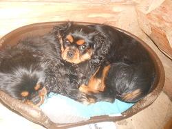 Bounty, chien Cavalier King Charles Spaniel