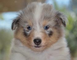Bounty, chien Berger des Shetland