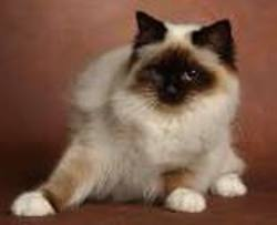 Bounty, chat Birman