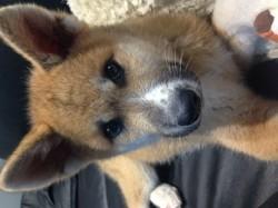 Bounty, chien Akita Inu