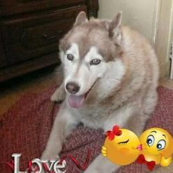 Kiara, chien Husky sibérien