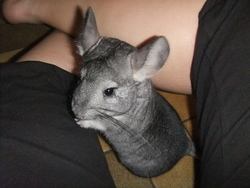 Bounty, rongeur Chinchilla