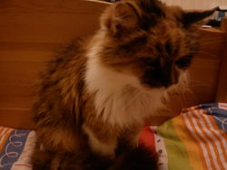 Boupboune, chat