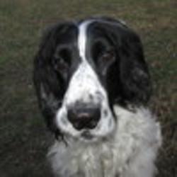 Bouriquet, chien Cocker anglais