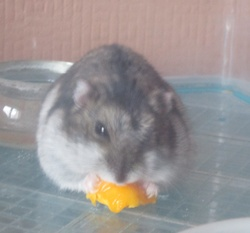 Boussolle, rongeur Hamster
