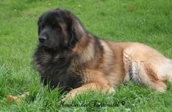 Boustreur, chien Leonberger
