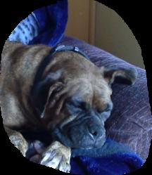 Boutchoux, chien Boxer