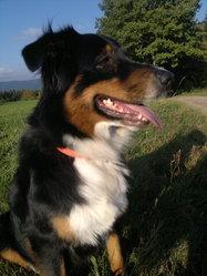 Bounty, chien Berger australien