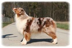 Bower, chien Berger australien