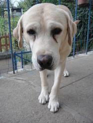 Box, chien Labrador Retriever